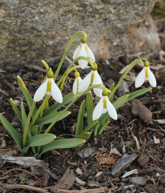 galanthus abington green