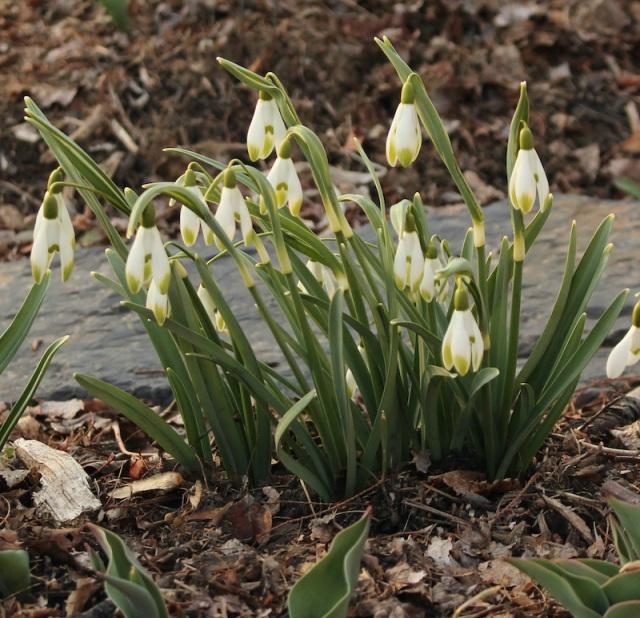 galanthus viridipice