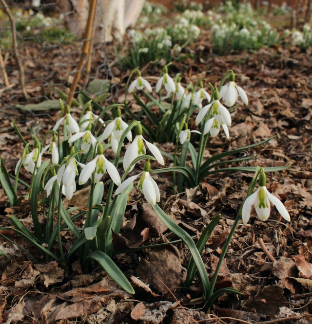 galanthus curly