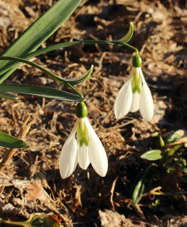 galanthus peardrop