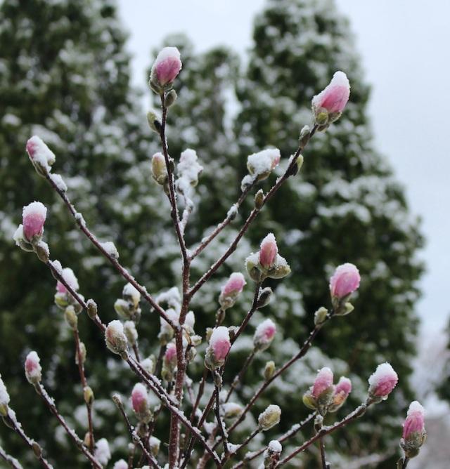 magnolia in snow
