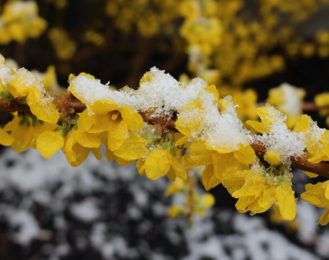 forsythia in snow