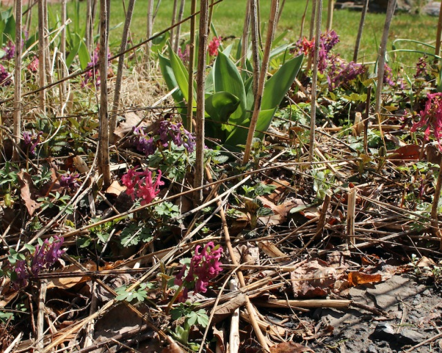 red corydalis seedlings