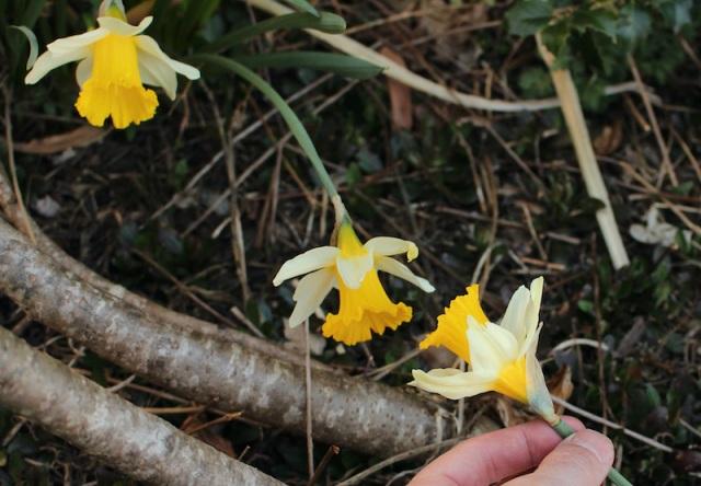 daffodil seedling
