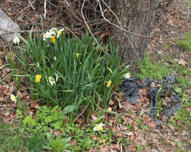 daffodil transplanting