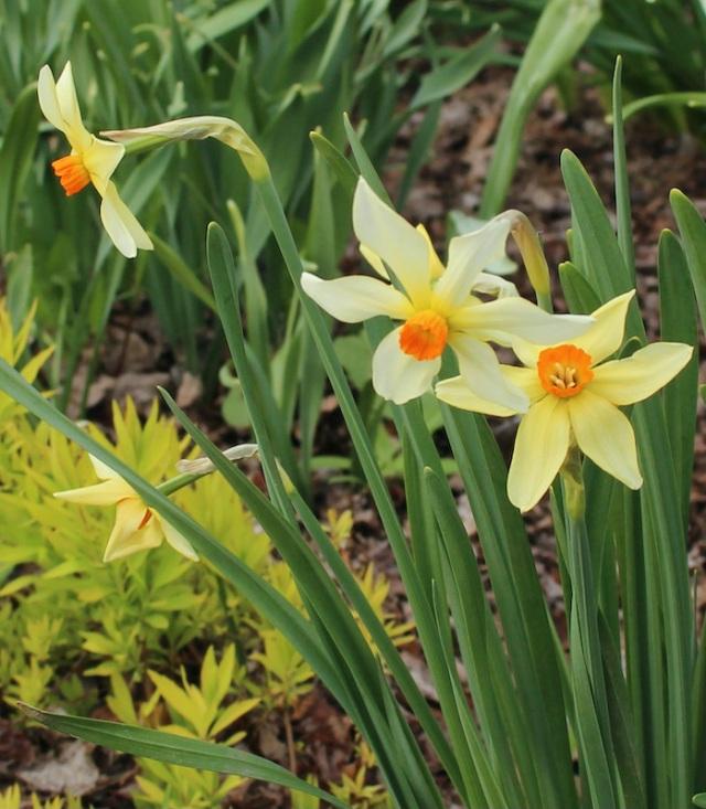 daffodil firebird