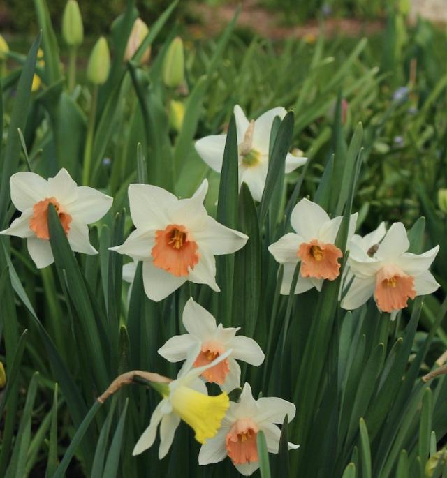 daffodil accent