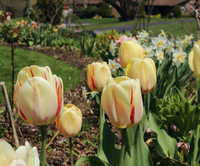 tulip burning heart