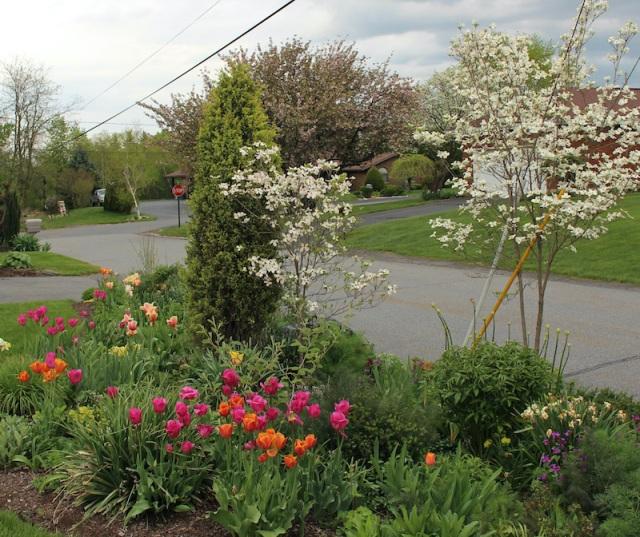 tulips and dogwood