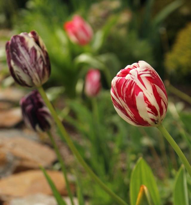 virus broken tulips