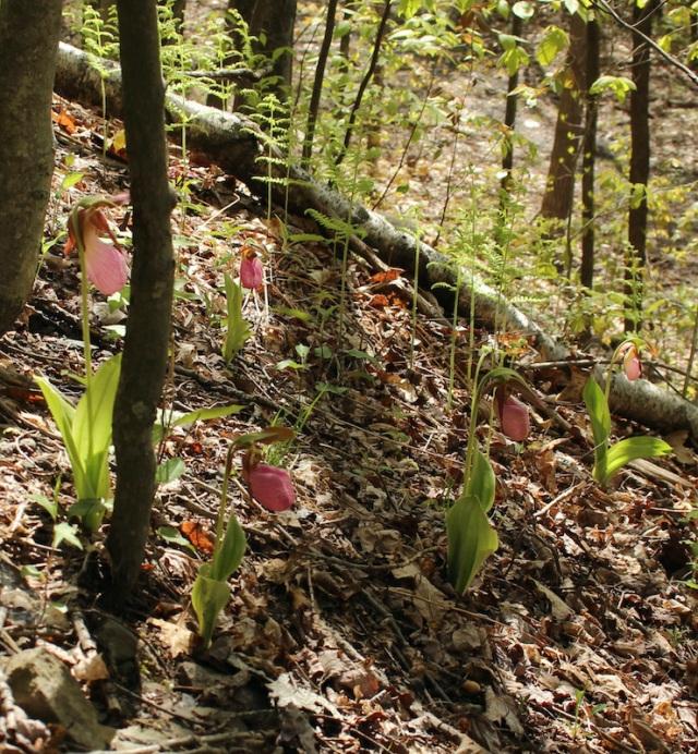 pink ladys slipper Cypripedium acaule