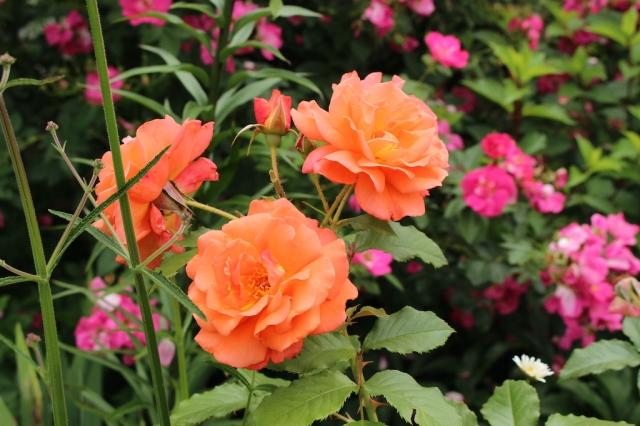 westerland rose