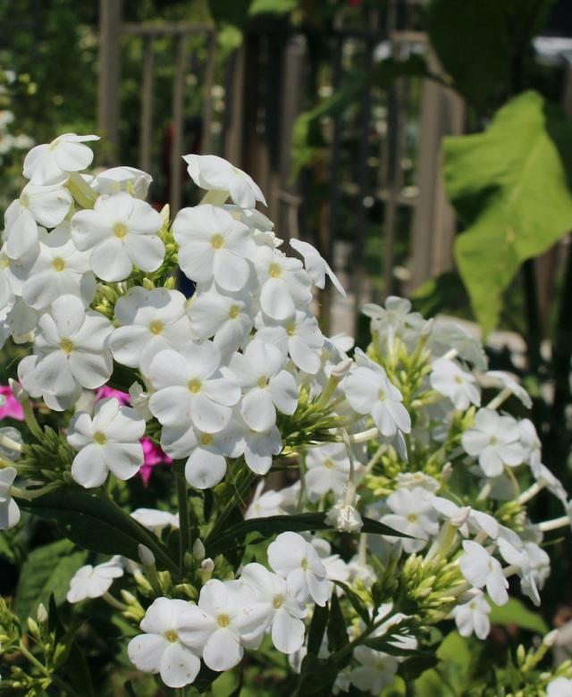 midsummer white phlox
