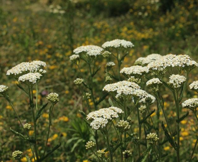 achillea millefolium common yarrow