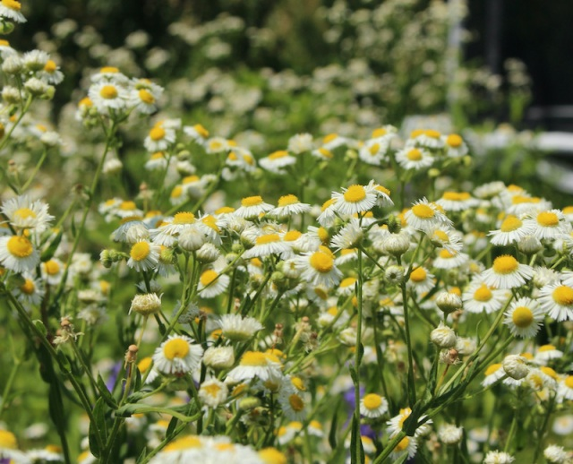 erigeron annuus daisy fleabane
