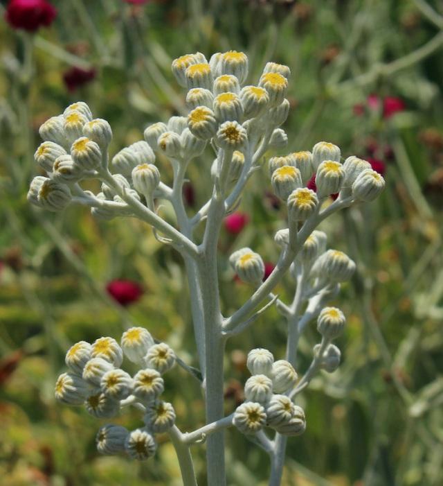 dusty miller flower