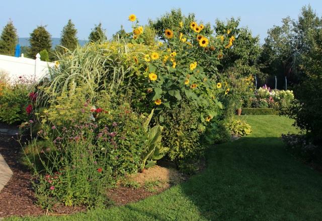 self seeded sunflowers