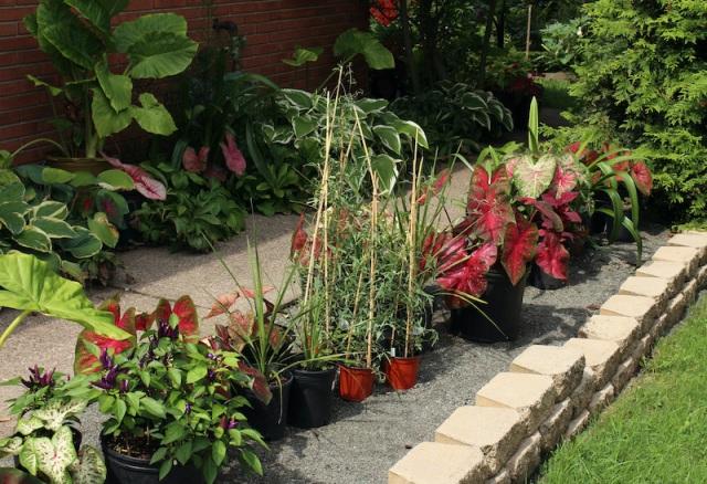 growing caladiums