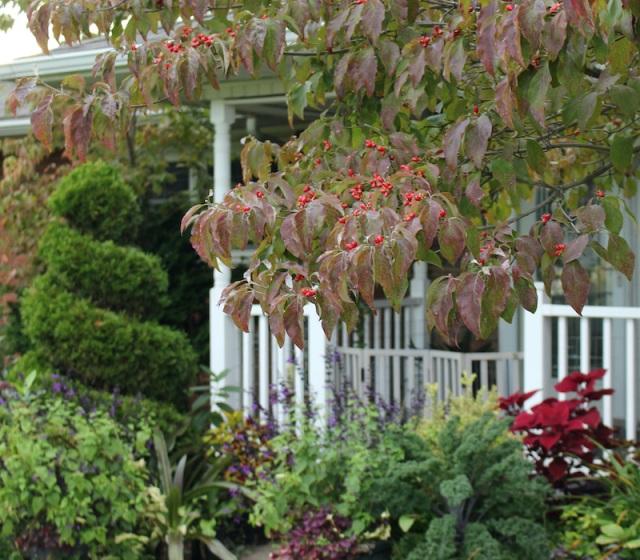 fall fruit on dogwood