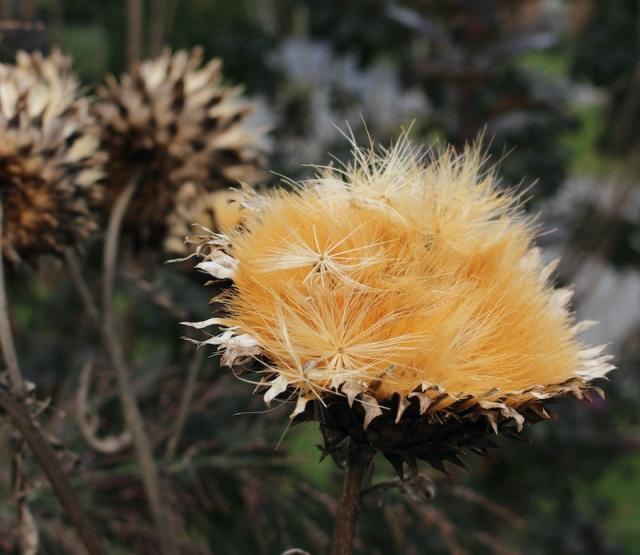 cardoon seed heads