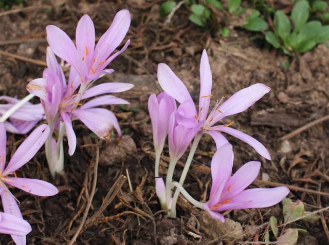 colchicum pink star laetum